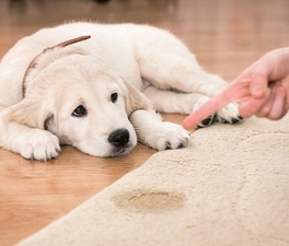 How to clean dog urine from carpets